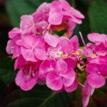 pierścionek ze srebra z wzorem chemicznym serotoniny na różowych kwiatach
